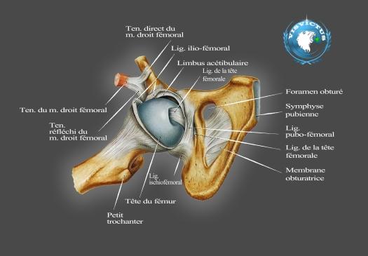 hanche-ligamentaire