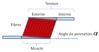 Fig-39-Description-macroscopique-d'un-muscle-et-definition-de-l'angle-de-pennation