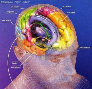 infographie-du-cerveau